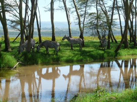 Zebras at a pond in Southern Africa